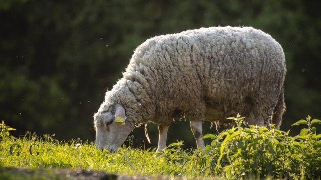Alimentacion de las ovejas