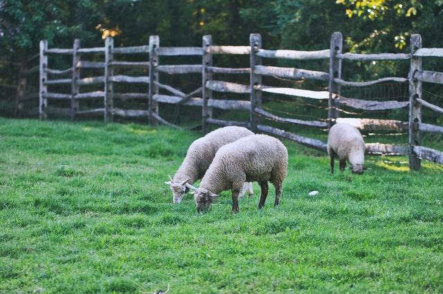 La alimentación de las ovejas es importante para la futura extracción de leche