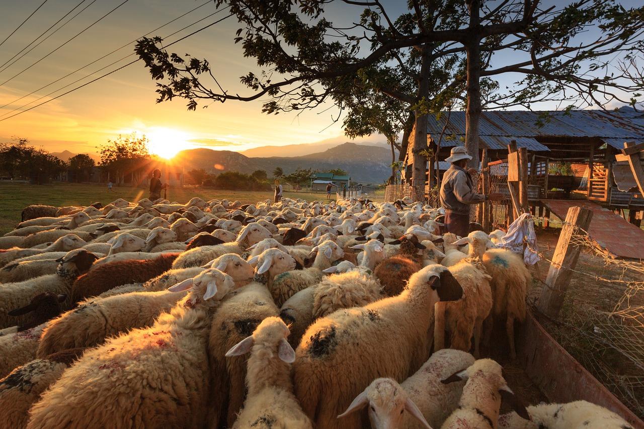Los pastores sacan al rebaño en horas de menos temperaturas