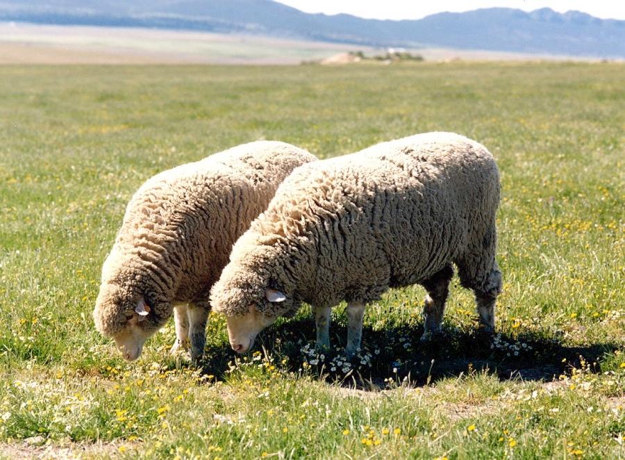 Razas de ovejas para elaborar queso