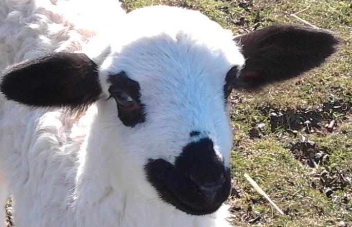 Razas de ovejas para elaborar queso1