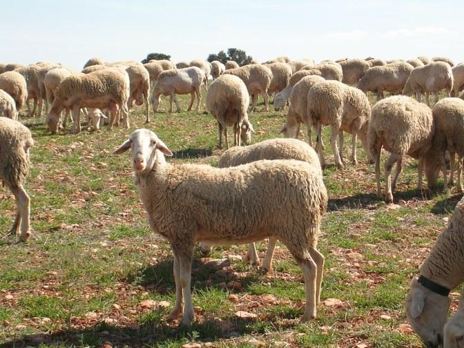 Razas de ovejas para elaborar queso3