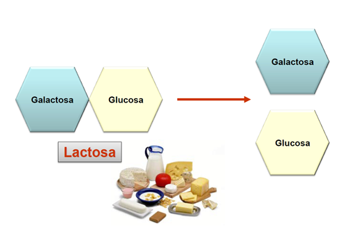 Composición de la lactosa