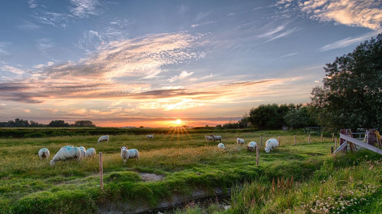 Las ovejas consumen en torno a 2,5 kg al día