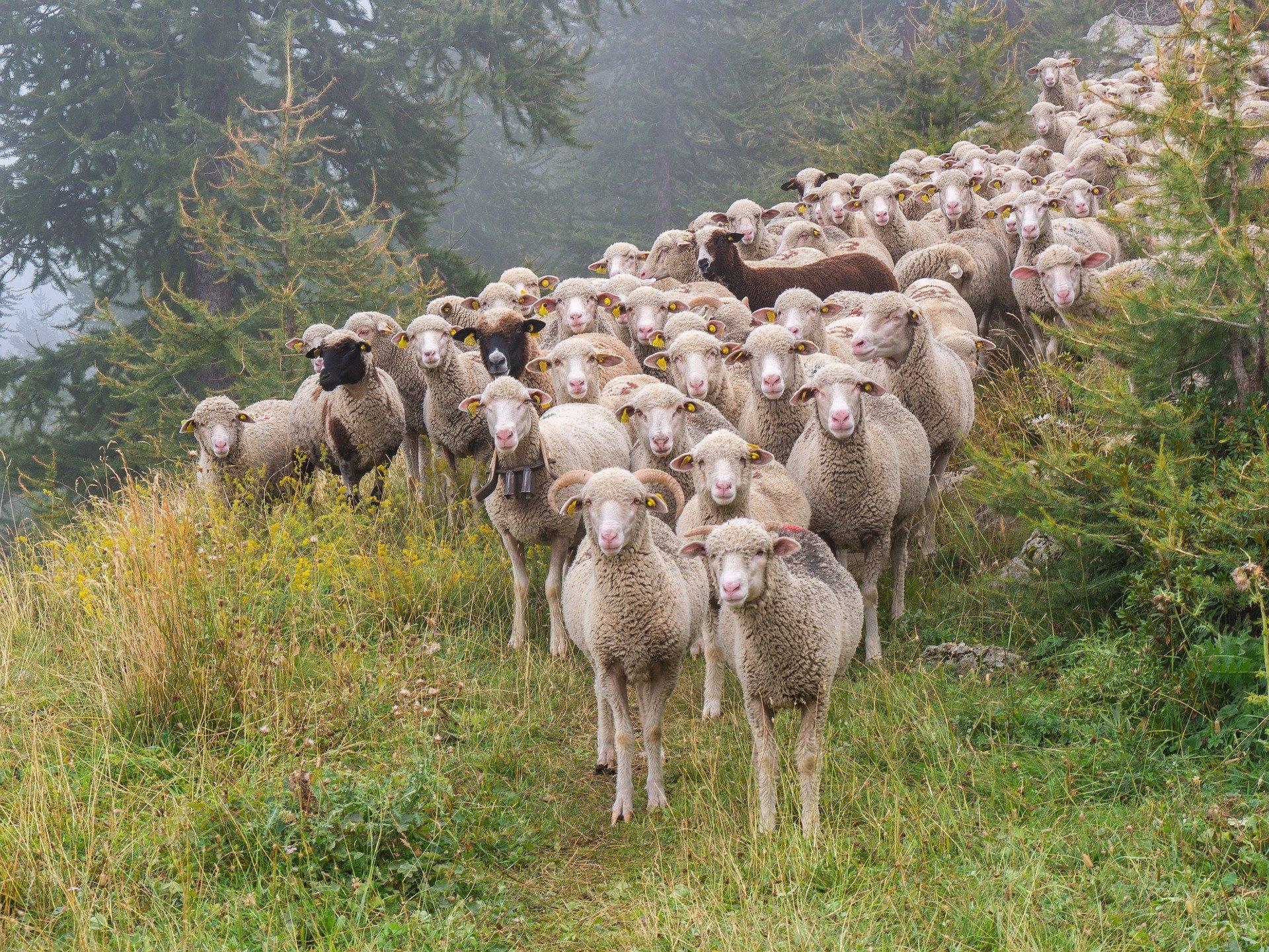 Las ovejas ayudan en la labor de cortafuegos.