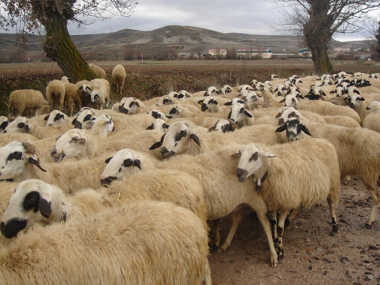 Los pastores dedican su día a día al rebaño