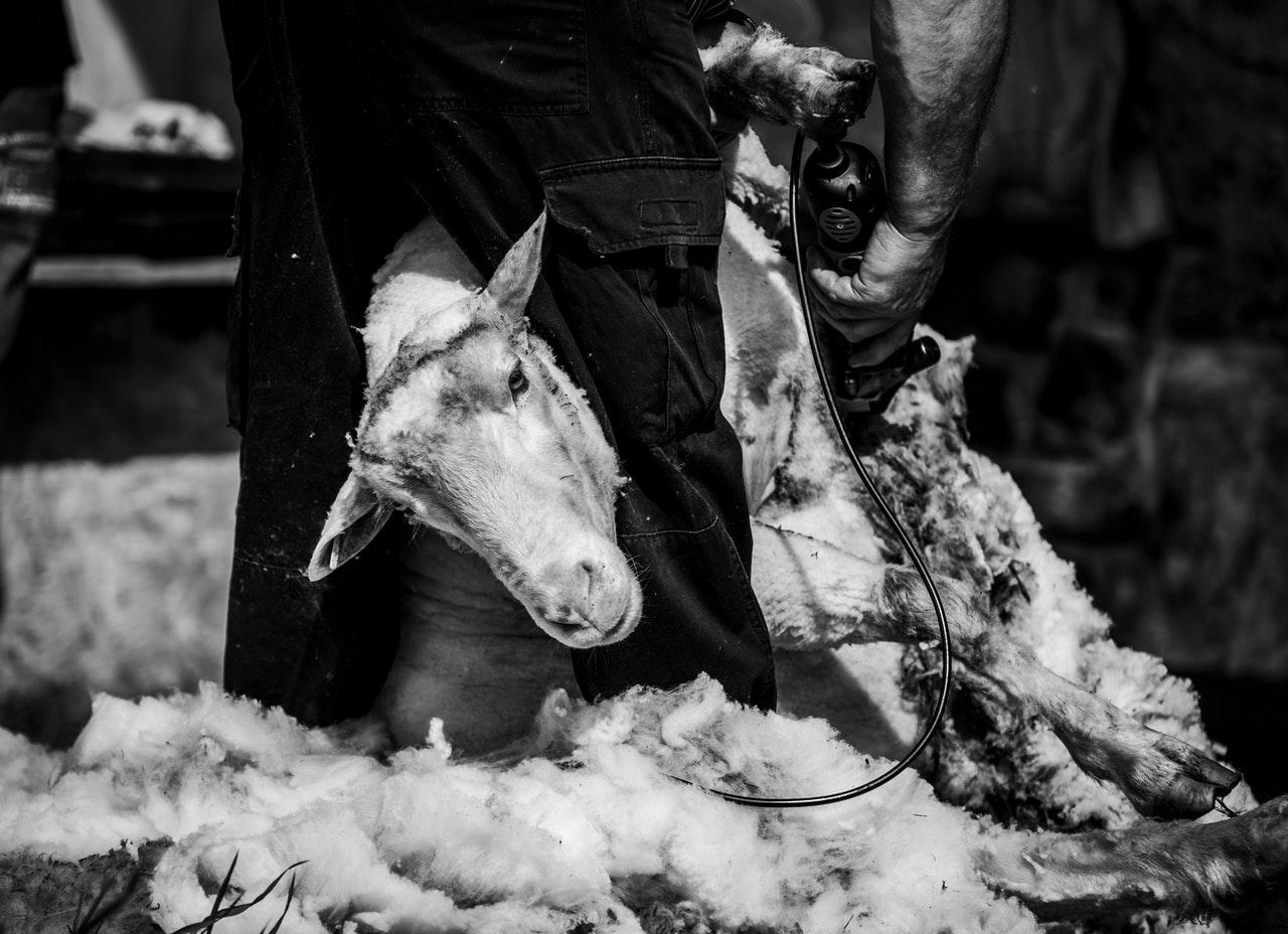 Esquilado de una oveja