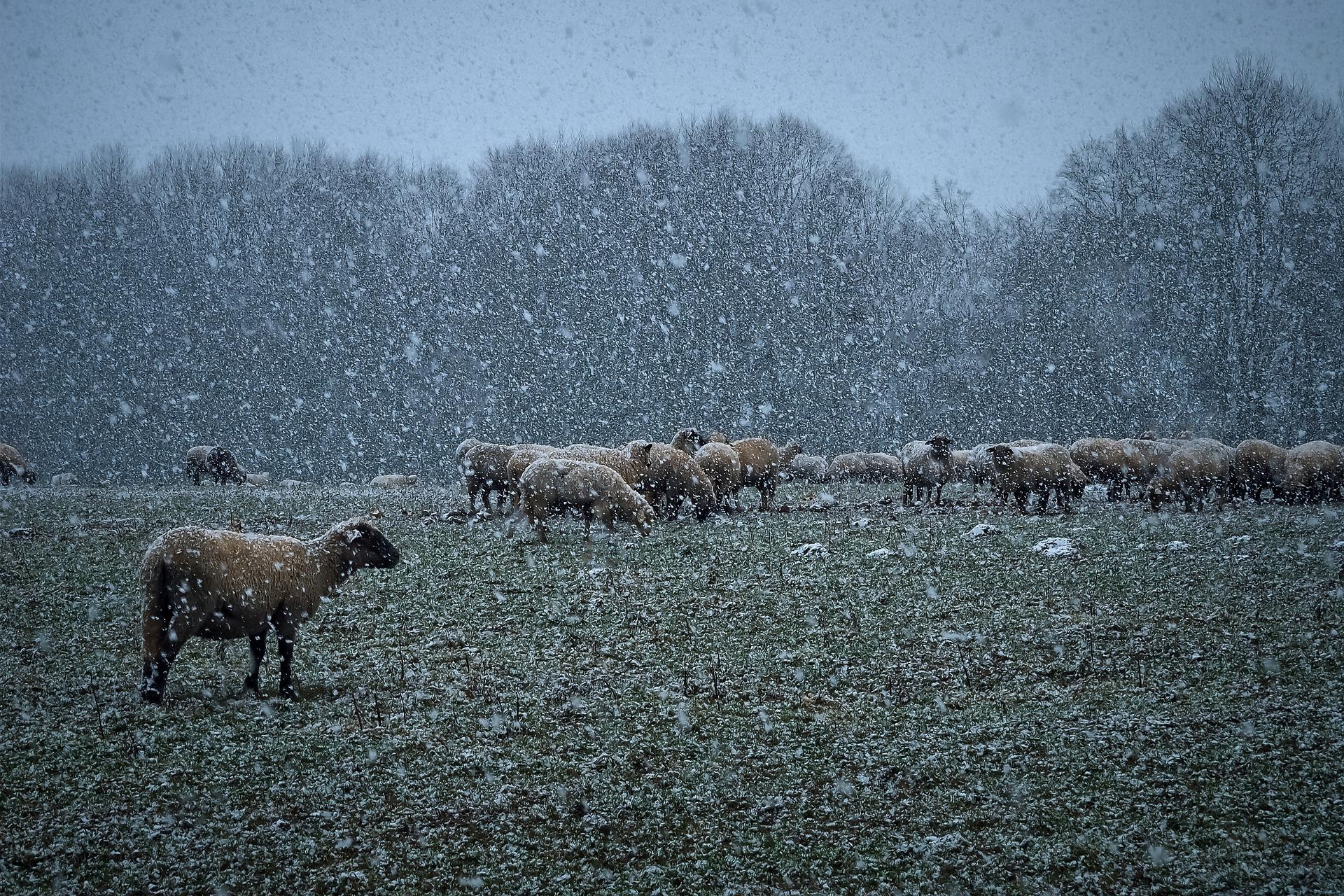 razas de oveja
