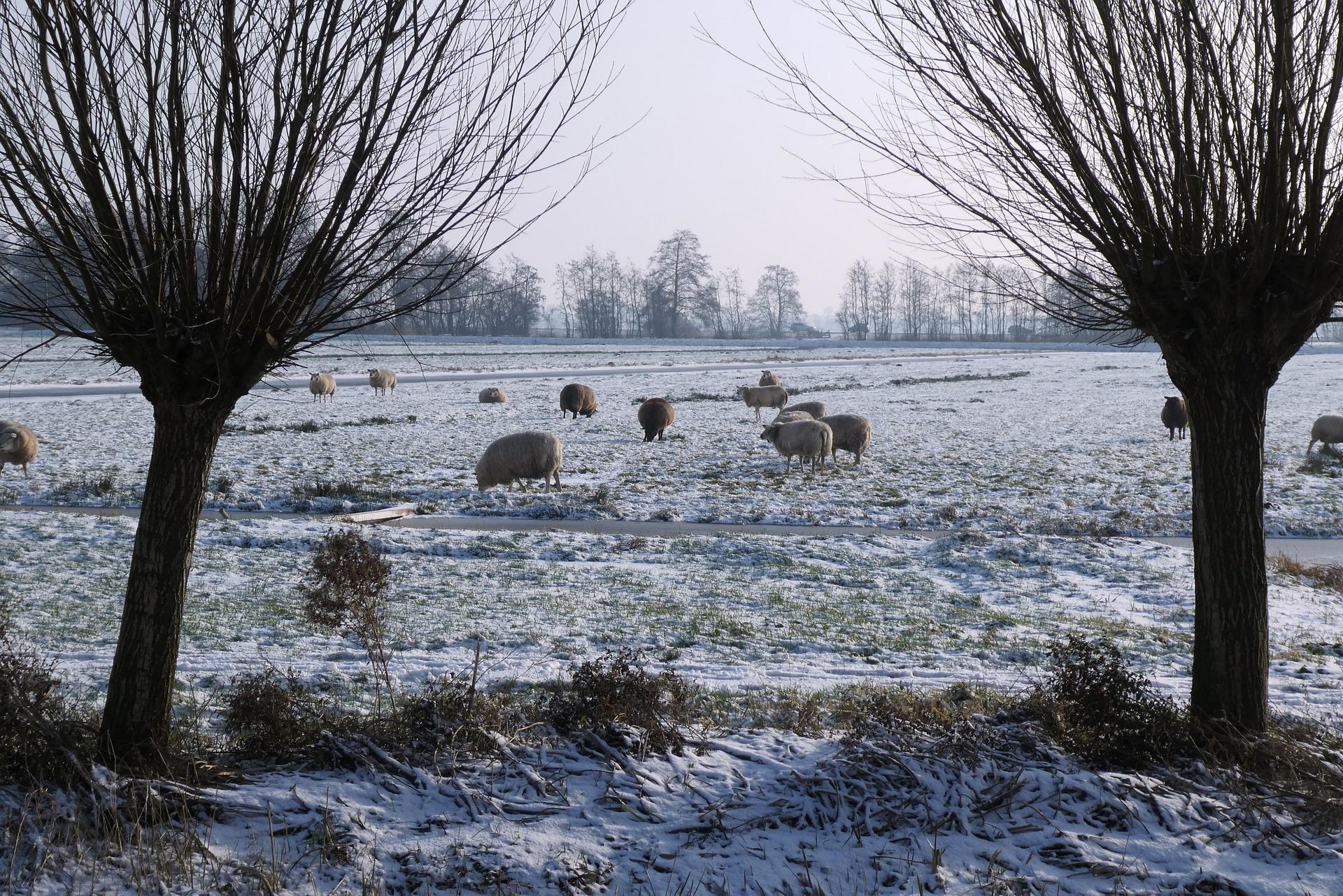 Razas de oveja en la nieve